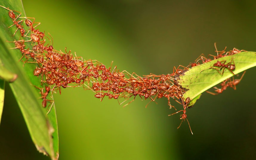 Fire Ants working together to create a bridge with their bodies